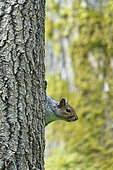 Grey squirrel (Sciurus carolinensis) on the side of a tree, England