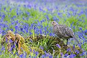 Pheasant (Phasianus colchicus) amongts bluebell, England