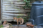 Red fox (Vulpes vulpes) cub coming out of his den, England