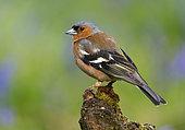 Chaffinch (Fringilla coelebs) perched on a log, England