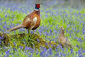 Pheasant (Phasianus colchicus) pair amongts bluebell, England