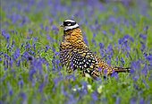 Reeves's pheasant (Syrmaticus reevesii) walking amongts bluebell, England
