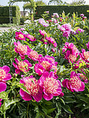 Paeonia lactiflora 'Rigolotte', Paeonia peregrina 'Felix Supreme', Paeonia peregrina 'Otto Froebel'