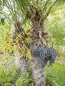Trachycarpus wanerianus