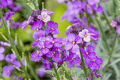 Erysimum linifolium 'Bowles Mauve'
