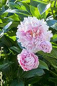 Paeonia lactiflora 'Reine Wilhelmine' Obtenteur : Rivière (FRA) 2000