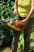 Harvesting in the vegetable garden