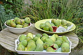 Harvesting figs from the orchard