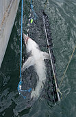 A team of researchers led by Dr Steve Turnbull from the University of New Brunswick tags and measures a Porbeagle Shark, Lamna nasus, aboard the deck of the Storm Cloud in the Bay of Fundy, Canada.
