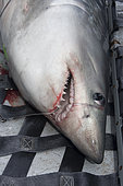 A team of researchers led by Dr Steve Turnbull from the University of New Brunswick use a hammock to hoist a Porbeagle Shark, Lamna nasus, onto the deck of the Storm Cloud in the Bay of Fundy, Canada.