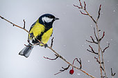 Great tit (Parus major) Male on a shrub in winter, Countryside, Central Bulgaria