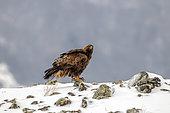 Golden Eagle (Aquila chrisaetos) Juvenile on a rock in the snow in winter, Carpathian Mountains, Bulgaria