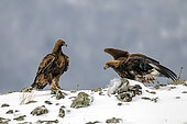 Golden Eagle (Aquila chrisaetos) Adulte with juvenile on a rock in the snow in winter, Carpathian Mountains, Bulgaria