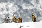 Griffon vulture (Gyps fulvus) Small group resting in the snow in winter, Carpathian Mountains, Bulgaria