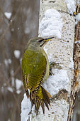 Grey-headed woodpecker (Picus canus) Female on a birch trunk in winter, Countryside, Central Bulgaria