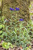 Purple Gromwell (Lithospermum purpurocaeruleum) Group of flowering plants in spring, Marbache Forest, Lorraine, France
