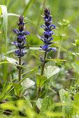 Cornish Bugle (Ajuga genevensis) Flowering plants in spring, Marbache Forest, Lorraine, France