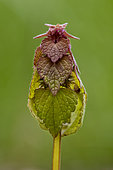 Red Dead-nettle (Lamium purpureum) Plant just before flowering in spring, Marbache Forest, Lorraine, France