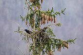 Carrion crow (Corvus corone) Couple on their nest at the top of a spruce tree in spring, Country garden, Lorraine, France