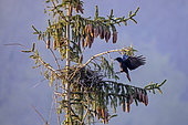 Carrion crow (Corvus corone) Arrival of an adult at the nest on top of a spruce tree in spring, Country garden, Lorraine, France