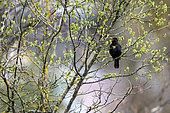 Blackbird (Turdus merula) Male singing in a tree in spring, Country garden, Lorraine, France