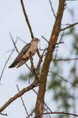 Common Cuckoo (Cuculus canorus) Male on a tree in the countryside in spring, Danube Delta, Romania