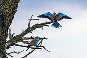 European Roller (Coracias garrulus) Pair in breeding plumage on a tree in the countryside in spring, Danube Delta, Romania
