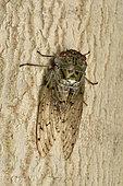 Cicada (Yanga pulverea) on the bark of a tree trunk, Andasibe (Périnet), Alaotra-Mangoro Region, Madagascar