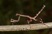 Twig Mantis (Popa spurca) on a branch, Andasibe (Périnet), Alaotra-Mangoro Region, Madagascar