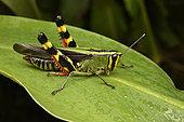 Forest Grasshopper (Heteracris sp) on a leaf, Andasibe (Périnet), Alaotra-Mangoro Region, Madagascar