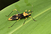 Assassin bug (Reduviidae sp) on a leaf, Andasibe (Périnet), Alaotra-Mangoro Region, Madagascar