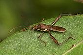 Broad-headed bug (Alydidae sp) on a leaf, Andasibe (Périnet), Alaotra-Mangoro Region, Madagascar