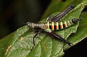 Grasshopper (Euschmidtiidae sp) on a leaf, Andasibe (Périnet), Alaotra-Mangoro Region, Madagascar