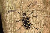 Flat-faced longhorn beetle (Phryneta marmorea) on the bark of a tree trunk, Andasibe (Périnet), Alaotra-Mangoro Region, Madagascar