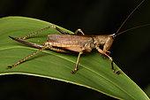 Conehead Katydid (Conocephalinae sp), Conical-headed female brown grasshopper, juvenile on a leaf, Andasibe (Périnet), Alaotra-Mangoro Region, Madagascar
