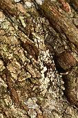 Praying mantis (Liturgusidae sp) on a tree bark, Andasibe (Périnet), Alaotra-Mangoro Region, Madagascar