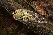 Cicada (Yanga pulverea) on a dead branche in forest, Andasibe (Périnet), Alaotra-Mangoro Region, Madagascar