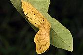 Moth (Lechriolepis tapiae) Female on her cocoon before mating, Nocturnal imago, Andasibe (Périnet), Alaotra-Mangoro Region, Madagascar