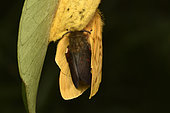 Moth (Lechriolepis tapiae) Mating on the female's cocoon, the male is darker, Nocturnal imago, Andasibe (Périnet), Alaotra-Mangoro Region, Madagascar
