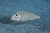 Striped seabream (Lithognathus mormyrus) scouring the seabed to find small invertebrates that it feeds on.. Fish of the Canary Islands, Tenerife.