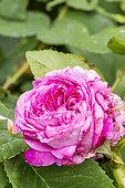 Rosa Portland 'Yolande d'Aragon' Obtenteur : Vibert (FRA) 1843