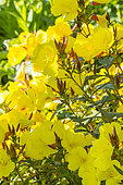 Oenothera 'Penelope Hobhouse'