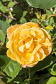 Rosa 'Orientalia' Breeder : Carruth (USA) 2007
