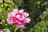Rosa 'Jean Cocteau' Breeder : Meilland (FRA) 2015