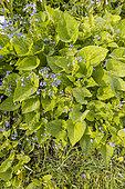 Brunnera macrophylla 'Langtrees'