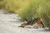 Black backed jackal (Canis mesomelas) killing a baby springbok in Kgalagadi transfrontier park, South Africa