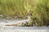 Black backed jackal (Canis mesomelas) protecting his prey in Kgalagadi transfrontier park, South Africa