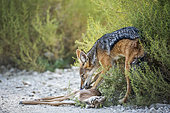 Black backed jackal eating his prey in Kgalagadi transfrontier park, South Africa ; Specie Canis mesomelas family of Canidae