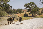 Three Blue wildebeest running in dirt road in Kgalagadi transfrontier park, South Africa; Specie Connochaetes taurinus family of Bovidae