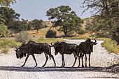 Three Blue wildebeest (Connochaetes taurinus) standing in dirt road in Kgalagadi transfrontier park, South Africa